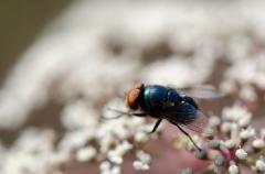Синяя муха