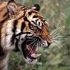 Tiger499